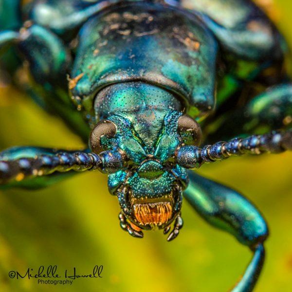 Green Frog Beetle