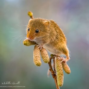 Harvest Mouse on catkins