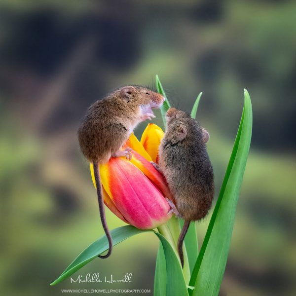 Mice Playfight 1