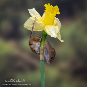 Daffodil Mouse 3