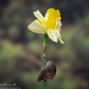 Daffodil Mouse