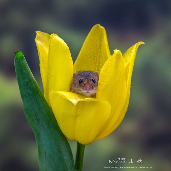 Yellow Tulip Mouse Peep Show