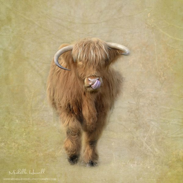 Highland Cow Lick