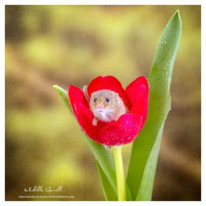 Red Tulip Mouse Bath