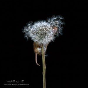 Dandelion Mouse 3