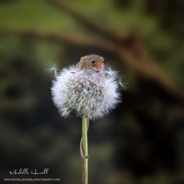 Dandelion Mouse 5
