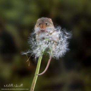 Dandelion Mouse 6