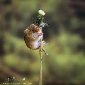 Dandelion Mouse 1