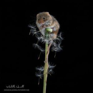 Dandelion Mouse 2