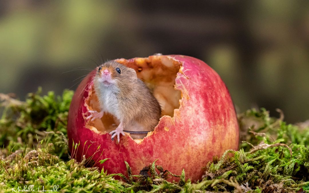 Little Book of Harvest Mice